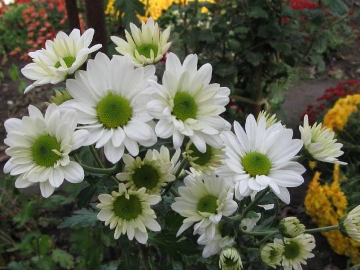 Хризантема бакарди: кустовая, белая и другие разновидности