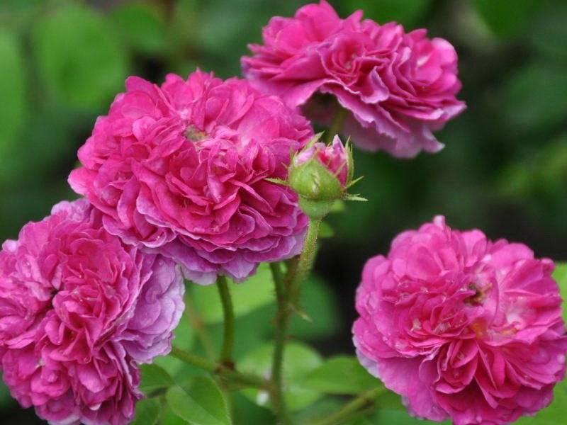 Что такое полиантовые розы: сорта, уход, посадка и отзывы