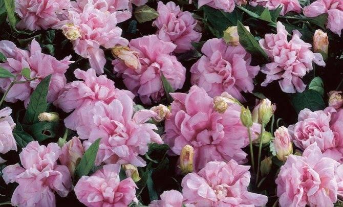 Калистегия (повой): посадка и уход, выращивание в саду, виды с фото
