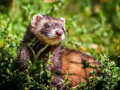Хорек: дикие и домашние виды. 115 фото, видео описание содержания и ухода