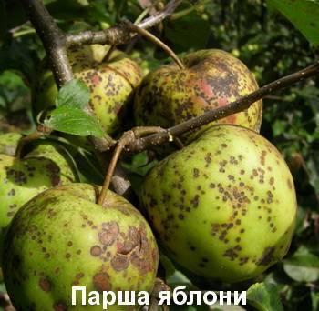 Болезни яблони: черный рак