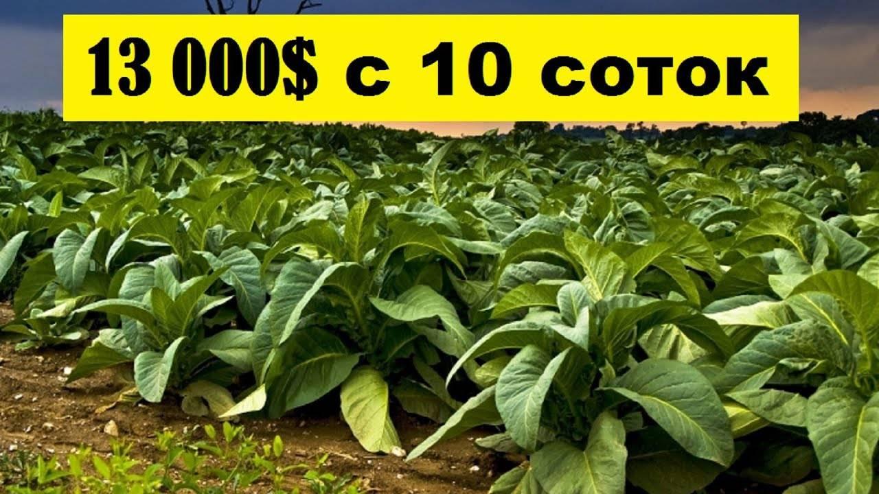 Как выращивать табак курительный на дачном участке