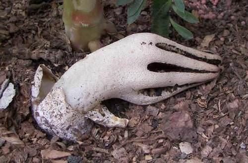 Пальцы дьявола, клатрус или антурус арчера, гриб-каракатица — название одного очень загадочного гриба