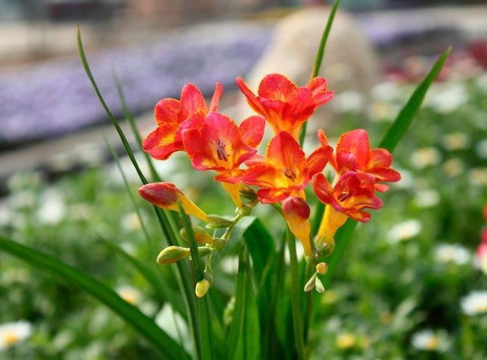 Луковичный цветок фрезия: описание и характеристика, выращивание и уход за культурой дома и в саду