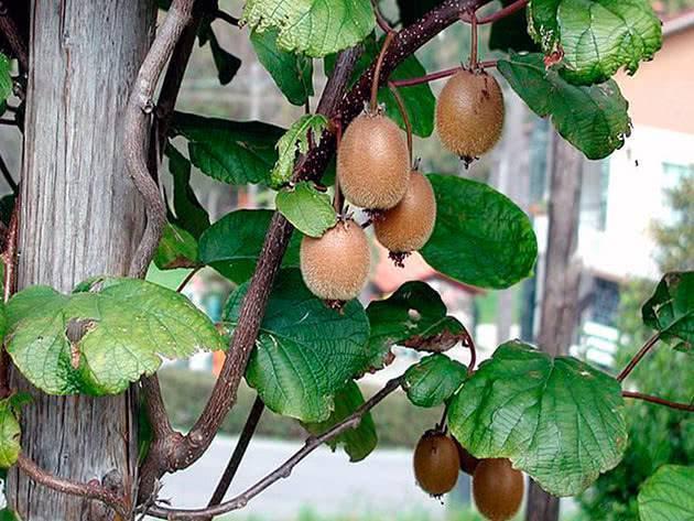 Как вырастить киви? 36 фото как посадить в домашних условиях семена и черенки? как растет киви дома? сорта и обрезка дерева