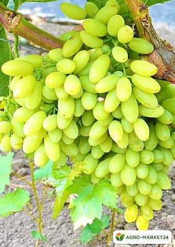 Виноград тимур: описание сорта, посадка, уход, фото, отзывы