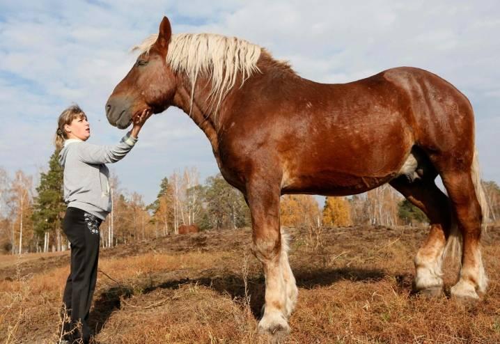 Самые крупные лошади в мире: породы и представители