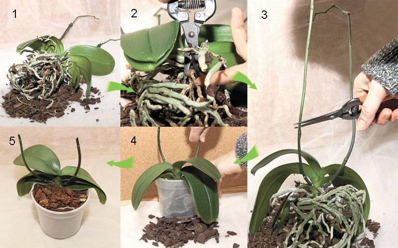 Можно ли пересаживать цветущую орхидею: пошаговая инструкция