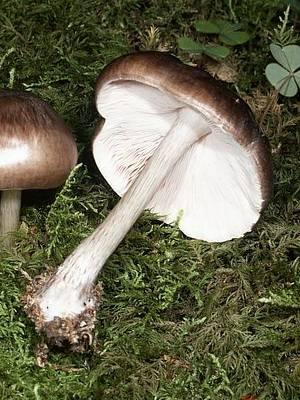 Плютей олений (pluteus cervinus): фото, описание, как готовить и чем пахнет этот гриб