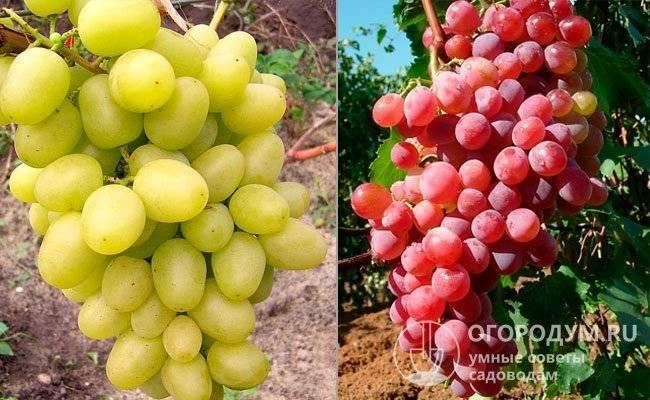 Виноград кристалл: описание сорта, характеристики и фото, растет ли в подмосковье? selo.guru — интернет портал о сельском хозяйстве