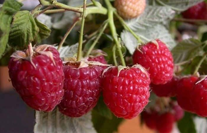 Малина выращивание и уход , выращивание малины из семян -  vsadu.ru