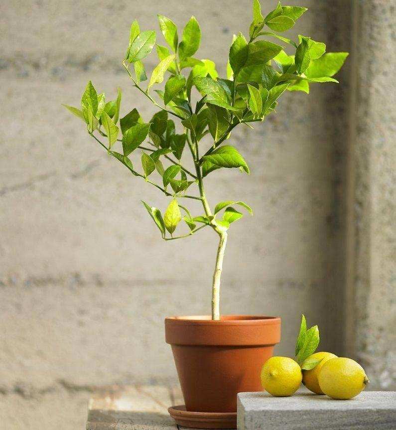 Обрезка лимона в домашних условиях: правила формирования