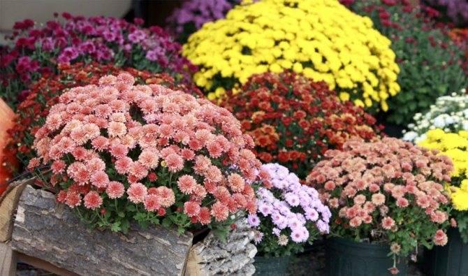 Как хранить хризантемы зимой в домашних условиях