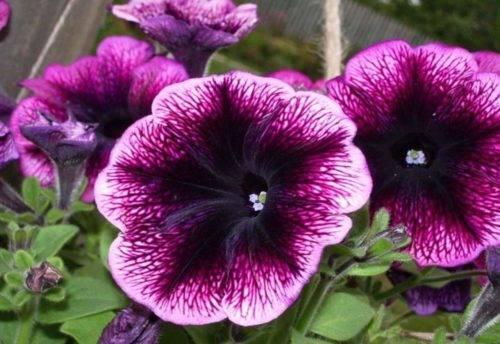Ампельная петуния: выращивание из семян когда сажать на рассаду уход сорта фото