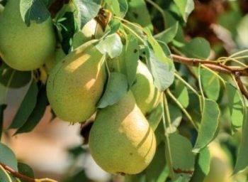 Груша сказочная — описание сорта, фото, отзывы садоводов