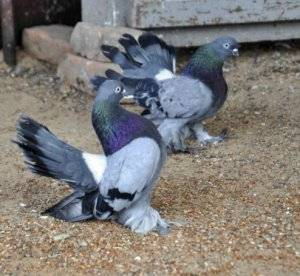 Как размножаются голуби: описание — selok.info