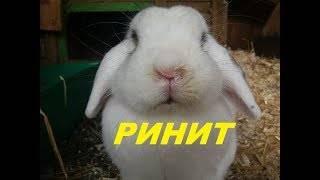 Насморк у кроликов: как и чем лечить болезнь?