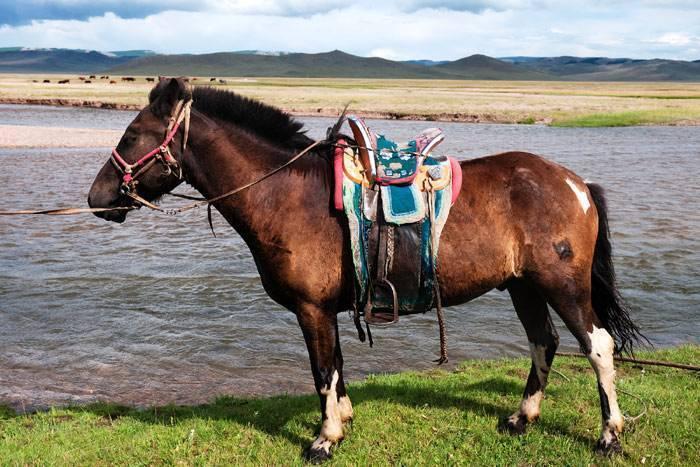 Монгольская лошадь — википедия. что такое монгольская лошадь