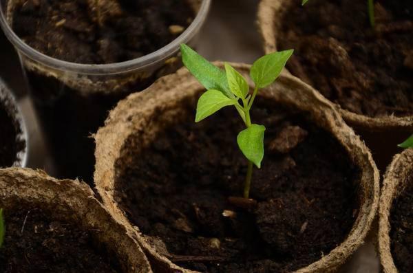 Как сажать перец на рассаду в торфяных горшочках: как выбрать емкости, как посадить, правила пересадки русский фермер