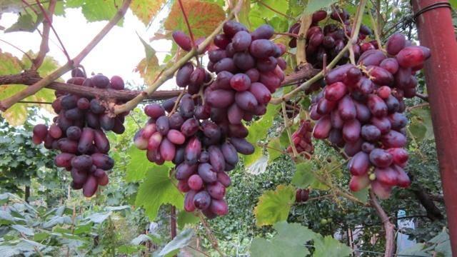 Виноград изюминка: описание сорта, уход, урожайность и отзывы