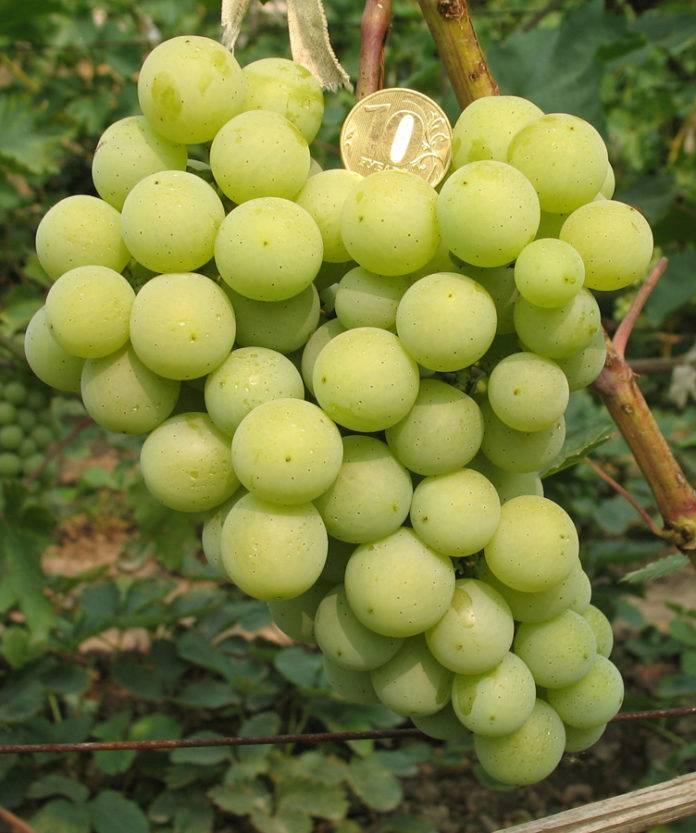 Виноград московский белый - преимущества сорта, выбор места для его выращивания, уход