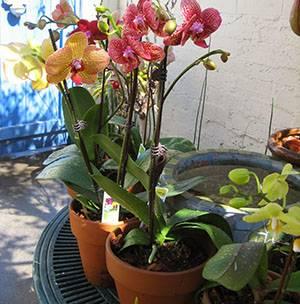 Как пересадить орхидею в другой горшок после цветения и можно ли это сделать, когда она отцвела?