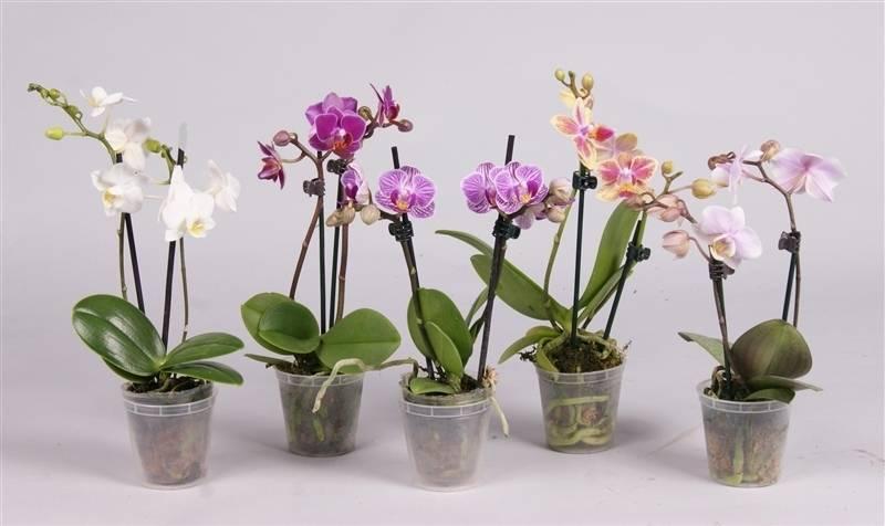 Как нарастить корни у орхидеи: варианты над водой и в домашних условиях