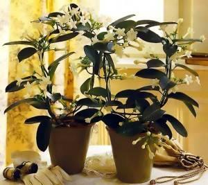 Жасмин самбак: разновидности, выбор, выращивание, размножение