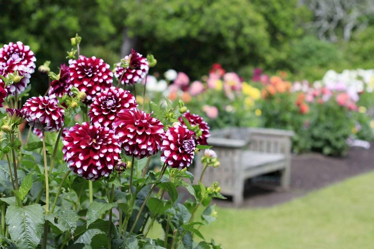 Георгины на рассаду: выращивание из семян, посадка и уход