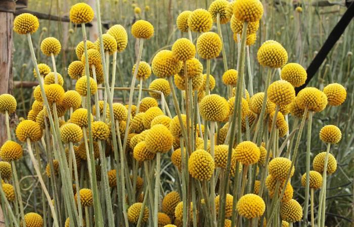 """""""гомфрена шаровидная"""": выращивание из семян, фото цветка, посадка и уход selo.guru — интернет портал о сельском хозяйстве"""