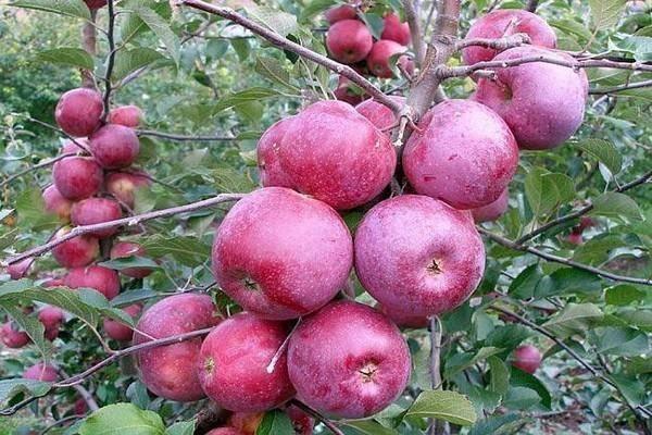 Яблоня сорта флорина: общее описание и правила ухода, краткая история и достоинства культуры