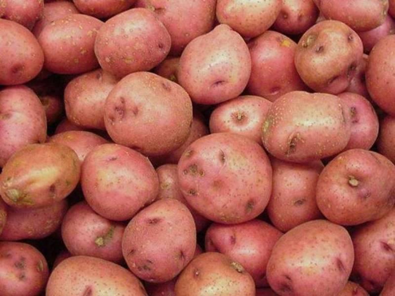 Сорт картофеля романо: характеристика, описание и фото, выращивание и уход, болезни и вредители, сбор урожая