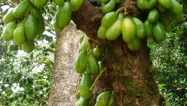 Огуречное дерево Билимби