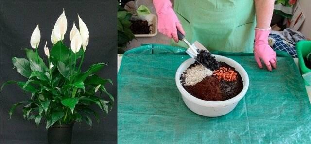 Уход за спатифиллумом: как правильно поливать этот цветок?