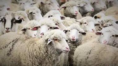 Овцеводство как бизнес: виды пород и особенности разведения   cельхозпортал
