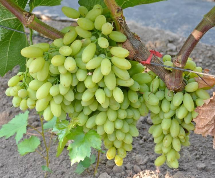 Находка азос — сорт винограда