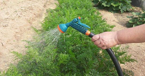Все о методе прополки моркови с помощью керосина. список альтернатив