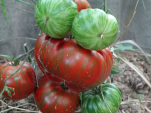 Семена томат бананза: описание сорта, фото. купить с доставкой или почтой россии.
