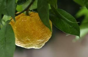 11 полезных свойств цитрусового фрукта юдзу