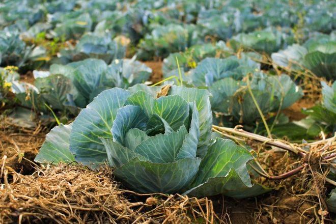 Как не ошибиться с выбором сорта капусты для хранения зимой в свежем виде?
