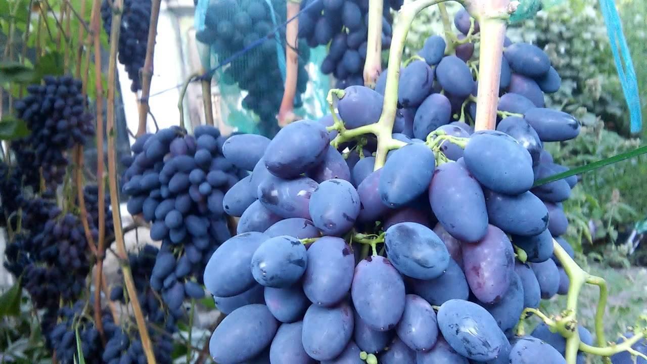 Виноград кодрянка: описание сорта, фото, отзывы, выращивание в подмосковье