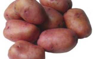 Картофель розана: описание сорта, фото, характеристика русский фермер