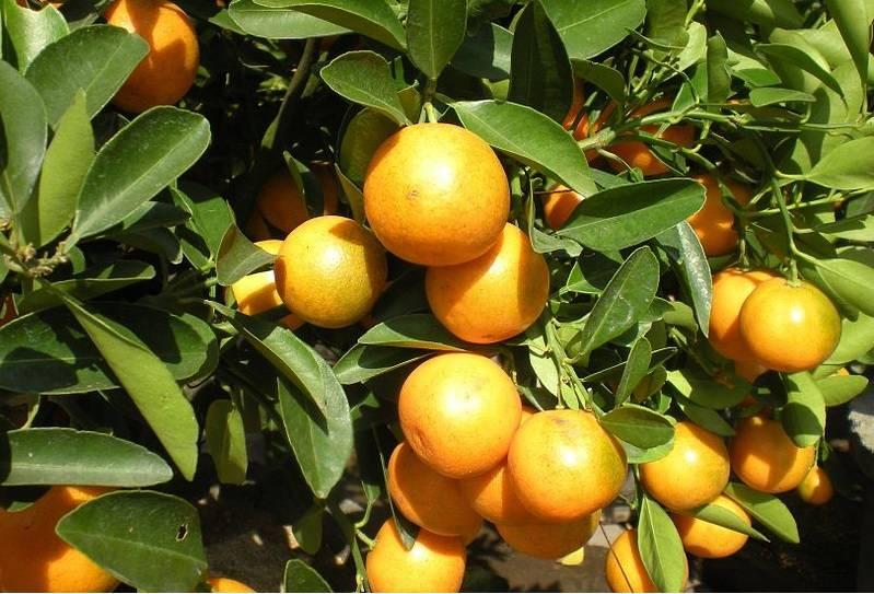 Зеленый грейпфрут: название, описание, польза и вред, особенности приема