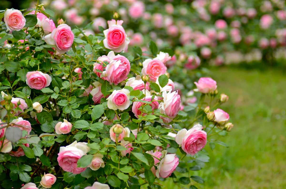 Кустовые розы - описание и названия сортов в фото, выращивание и уход в горшке и саду