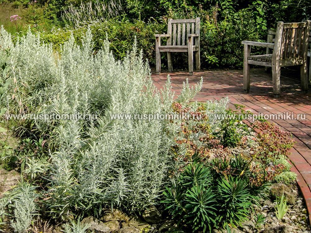 Полынь: фото растения, посадка и уход в открытом грунте