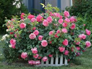 Как превратить приусадебный участок в розарий: все, что нужно знать про уход и выращивание кустовых роз