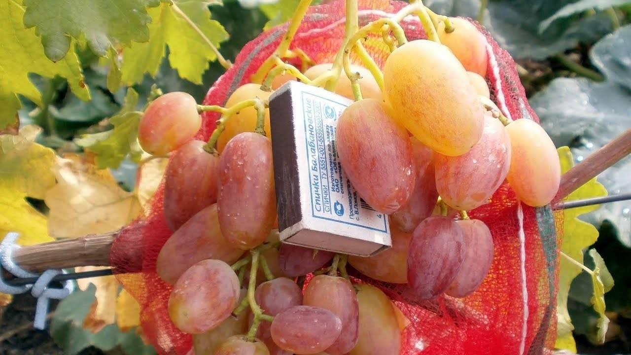 Виноград юлиан: фото, описание сорта