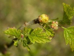 Обработка смородины весной от вредителей и болезней