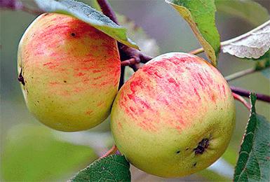 Яблоня осенняя радость: разбираем главное