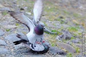 Голубь: его повадки, характер, рацион питания, виды голубей, фото, видео